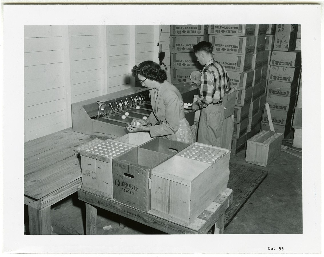 Two workers in 1955 packaging eggs in Forrest Co.Co-op.
